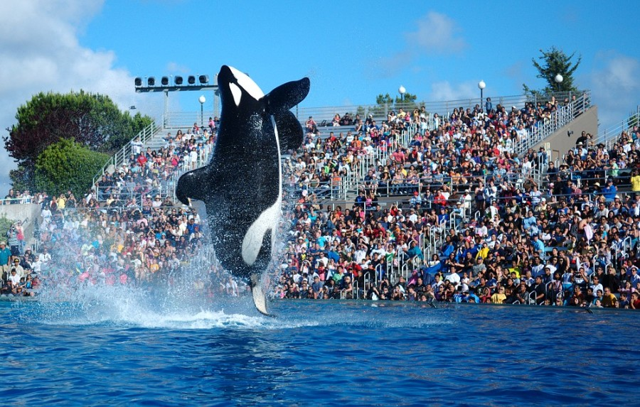 A Killer Whale performs at SeaWorld. Photo credited to Wikipedia.